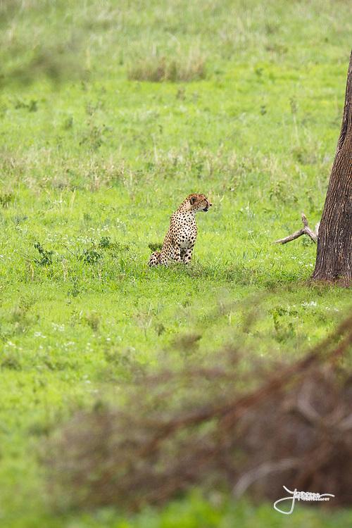 Cheetah (Gepard), in Tarangire, watching for prey