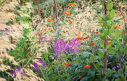 Tithonia rotundifolia, Stipa gigantea, Cobaea scandens and Cleome in the cutting garden