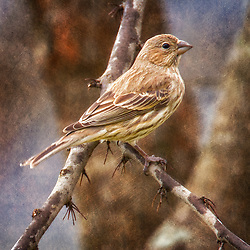 A Female House Finch In The Tree