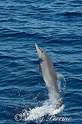 juvenile eastern spinner dolphin, Stenella longirostris orientalis, calf jumping, offshore from southern Costa Rica, Central America ( Eastern Pacific Ocean )