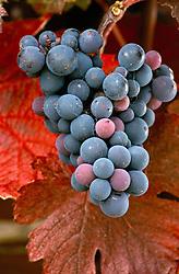Vitis 'Brandt'- grapes