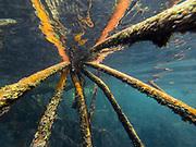 Red Mangrove (Rhizophora mangle)<br /> Puerto Villamil<br /> Isabela Island, <br /> GALAPAGOS,  Ecuador, South America