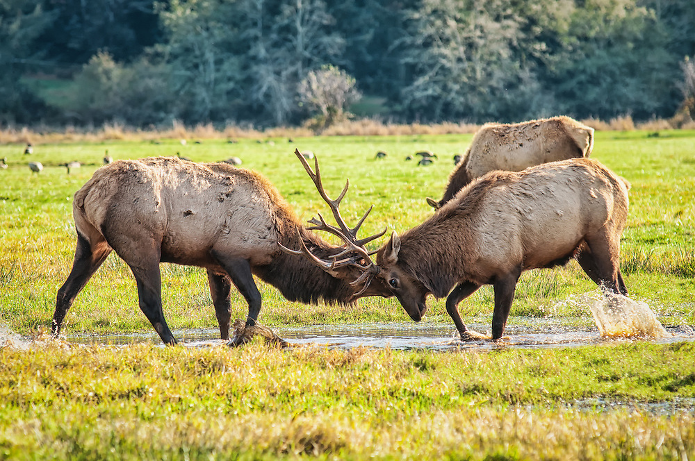 A pair of elk bulls violently clashes together in a fierce display of strength in an attempt to control sole breeding rights with the nearby herd of females.
