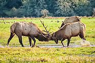 Deer and Elk Family (Cervids)