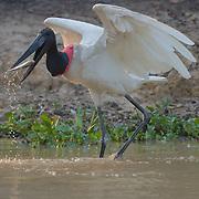 Jabiru stork about to gulp down a small fish. Pantanal, Brazil.