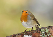 Robin, Erithacus rubecula, on pinewood branch in winter, Inverness-shire, Highland