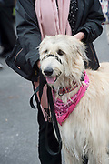 17/08/2017  Nora the Irish Wolf hound from Wexford  at the Connemara Pony Show in Clifden. Photo:Andrew Downes, xposure