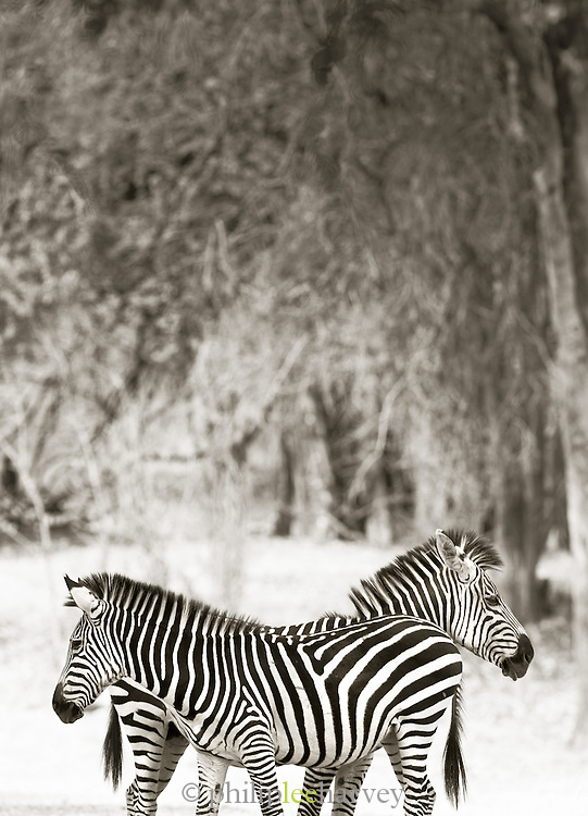 A pair of Zebra seen on the Luangwa River Valley, Zambia, Africa