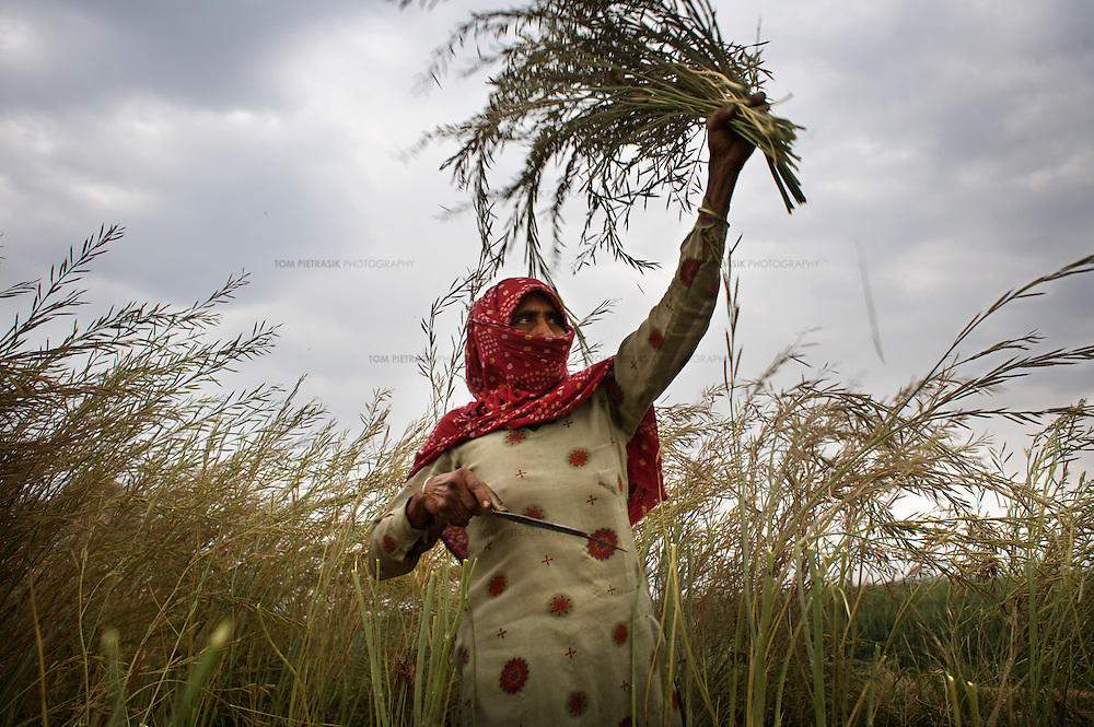 """Bhateri, age 65, harvests a mustard crop. Bhateri is an agricultural labourer from Lagarpur village in Haryana. She and other labourers are particularly vulnerable to the development of SEZs. Unlike land-owning farmers, she will receive no compensation for the acquisition of land and it is almost certain that she will not be offered employment in the high-tech industrial facilities proposed in SEZs. ..Reliance Industries (RIL), India's largest private company, has been granted a license to acquire and develop 25,000 acres of land as a Special Economic Zone (SEZ) in Jhajjar district in the state of Haryana. This land borders Delhi and is at present almost exclusively agricultural. The land has huge potential value as it borders Delhi and will be serviced by the proposed Kundli-Manesar-Palwal Expressway. At present RIL are offering farmers INR2.2 million (£27,000) per acre. Many of Jhajjar's farmers are refusing to sell and have joined a national struggle to resist the development of SEZs. ..India's Special Economic Zones (SEZs) are areas of land owned by private companies which are deemed to be foreign territory for the purpose of trade, duties and tariffs. SEZs have been declared """"public utilities"""" making collective bargaining and strikes illegal. SEZs are not subject to India's Environment Protection Act. It is questionable whether SEZs are consistent with the Indian constitution. The Indian finance ministry is concerned that SEZs will distort land, capital and labour costs. SEZ exemption from tax and duties will result in lost revenue for India...The law allowing for the establishment of SEZs in India came into effect in February 2006. The law was not debated in parliament. According to the Citizen's Research Collective, a total of 760 SEZs have been approved in 20 states across India. At present most of the land designated for the development of SEZs is agricultural. The Government of India says it has promoted the scheme to encourage exports, create jobs and rai"""