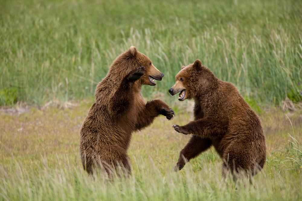 USA, Alaska, Katmai National Park, Hallo Bay, Grizzly Bear (Ursus arctos)