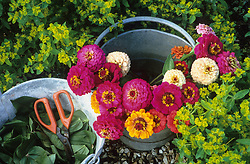 Zinnias cut into water with separate bucket for stripping leaves
