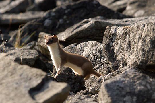 Least Weasel (Mustela nivalis) Peering out from  rocks. Katmai National Park. Alaska. Summer.