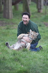 © London News Pictures. 04/02/2013.Head of Large Carnivore Section Ben Warren plays with endamgered Siberian cub Arina. Howletts Wild Animal Park in near Canterbury, Kent, officially announces endangered Siberian cubs debut. Siberian or Amur tigers are endangered in the wild and it is estimated that only 400 remain. Picture credit should read Manu Palomeque/LNP