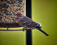 House Finch Image taken with a Nikon D5 camera and 600 mm f/4 VR telephoto lens (ISO 220, 600 mm, f/4, 1/640 sec)
