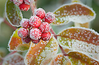 Frosted berries and leaves of Mountain Ash (Sorbus scopulina) North Cascades Washington