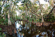 "Loxahatchee River in northern Palm Beach County, FL. The Loxahatchee is one of South Florida's few remaining rivers designated as ""wild and scenic."""