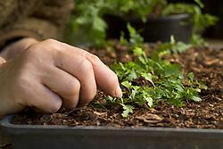 Propagating ferns by bulbils<br /> Pinning down leaf with bulbils onto compost - Asplenium lamprophyllum x A. bulbiferum