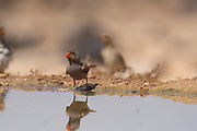 The trumpeter finch (Bucanetes githagineus) near a puddle of water in the Negev desert, israel in June