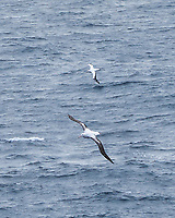 Wandering Albatross (Diomedea exulans). South Atlantic Ocean. Viewed from the deck of the Hurtigruten MS Fram. Image taken with a Leica T camera and 18-55 mm lens.