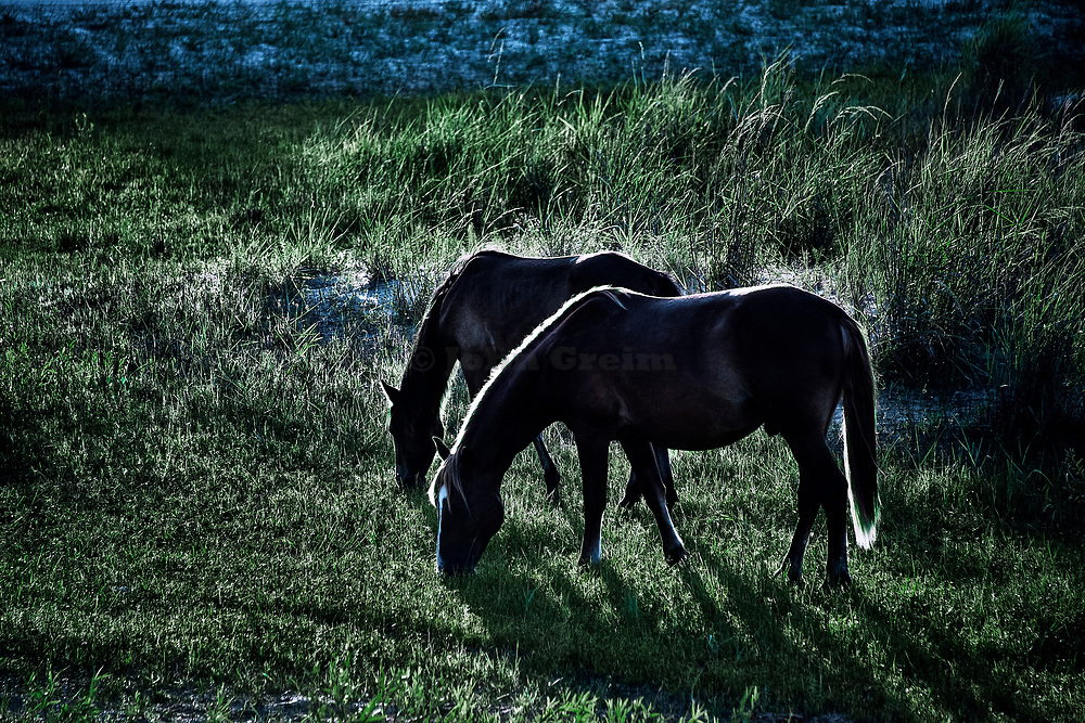 Wild Spanish mustangs grazing, Outer Banks, North Carolina, USA.