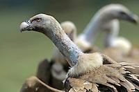 Griffon vulture; Gyps fulvus, Canillo, Andorra