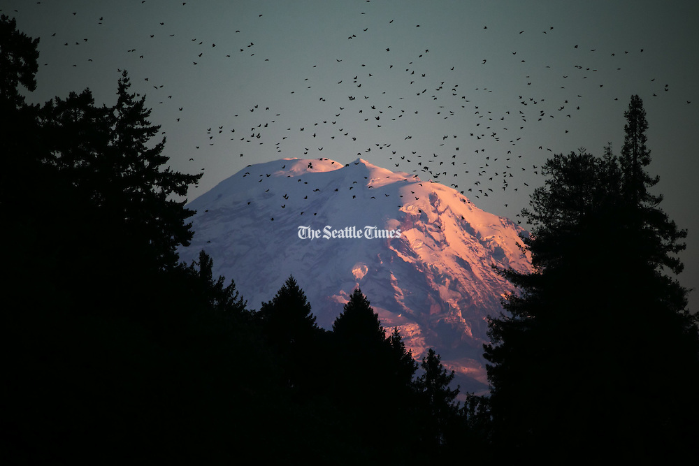 A flock of birds fly in front of Mount Rainier, illuminated at sunset and framed by trees in Seward Park. (Bettina Hansen / The Seattle Times)