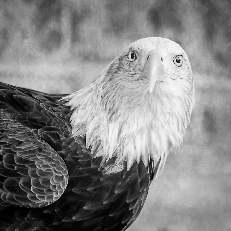 An Eagle Turns To Watch Me