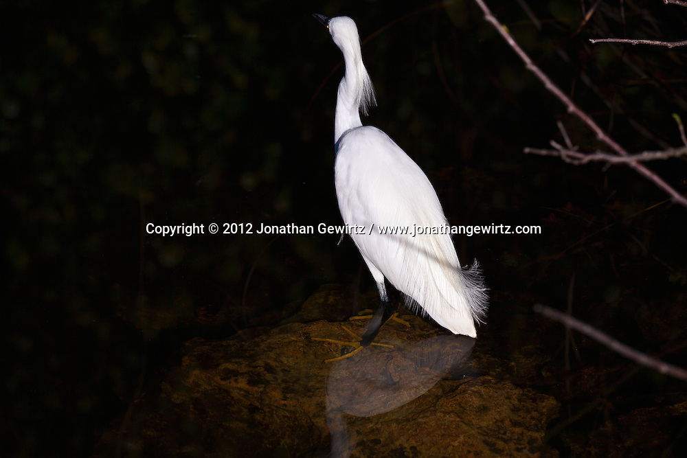 A Snowy Egret (Egretta thula) hunts in a canal in the Shark Valley section of Everglades National Park, Florida. WATERMARKS WILL NOT APPEAR ON PRINTS OR LICENSED IMAGES.