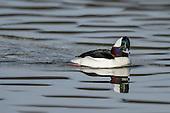 Swans, Geese & Ducks