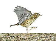 Meadow Pipit - Anthus pratensis. L 14-15cm. Rather nondescript, streaked brown bird. Forms loose flocks outside breeding season. Sexes are similar. Adult has streaked brown upperparts and pale underparts with dark streaks; has buffish yellow flush to flanks and breast, most noticeable in autumn. Has pale, unmarked throat, pale eyering and hint of short, pale supercilium. Legs are pinkish and outer tail feathers are white. Juvenile is similar but with less extensive streaking. Voice Utters a pseet-pseet-pseet call. Descending song is delivered in flight but starts and ends on ground. Status Common and widespread resident. Favours rough, grassy habitats; upland birds move to lowlands outside breeding season and European migrants boost winter numbers.