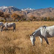 Grazing Horses - Lone Pine, CA
