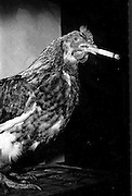 A smoking chicken, bad habit, she should give it up really? 1983..Picture by Don MacMonagle