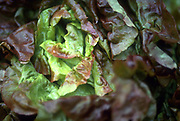 Close up selective focus photograph of some Red Boston Leaf lettuce