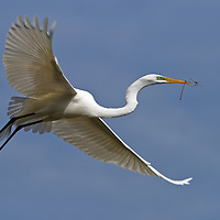 Wild great egret (Ardea alba) in flight returning to the rookery with nesting material at the St. Augustine Alligator Farm Rookery, Anastasia Island, St. Augustine, Florida