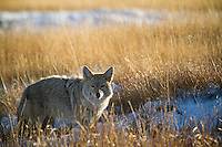 Coyote hunting in Yellowstone National Park, WY.