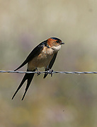 Red Rumped Swallow, Cecropis daurica, perched on barbed wire fence, found Southern Europe and Asia