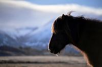 Icelandic horse near Borgarnes, West Iceland.