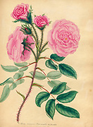 ROSA muscosa Provincialis; Var. flore pallido. Moss Province Rose; Pale-fiowered Variety. From the book Roses, or, A monograph of the genus Rosa : containing coloured figures of all the known species and beautiful varieties, drawn, engraved, described, and coloured, from living plants. by Andrews, Henry Charles, Published in London : printed by R. Taylor and Co. ; 1805.