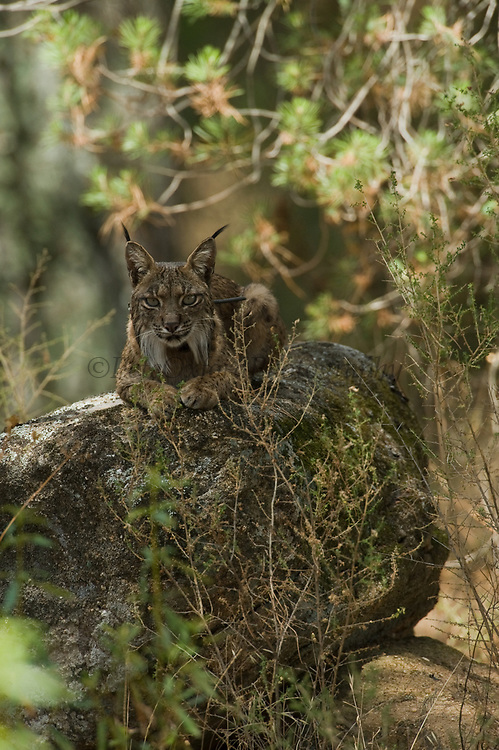 Iberian Lynx (Lynx pardinus) Collared male seen in yard of private house near Andujar.<br /> Mediterranean woodland of Sierra Morena, north east Jaén Province, Andalusia. SPAIN<br /> RANGE: Iberian Penninsula of Spain & Portugal.<br /> CITES 1, CRITICAL - DANGER OF EXTINCTION<br /> Fewer than 200 animals in the wild. There is a reduced genetic variability due to their small population. They have suffered due to hunting, habitat loss, road accidents, reduced food supply due to desease in rabbits (Myxomatosis & RHD) - their base food supply. Deseases such as feline leukaemia<br /> A medium sized cat weighing 12-15kgs, Body length 90cm, Shoulder height 45-50cm. They have a mottled fur pattern, (3 varieties of fur pattern found between the different populations and distinguishing them geographically)  short tail, ear tufts and are bearded. They are territorial cats although female cubs have been found to share their mother's territory. Mating occurs in Dec/Jan and cubs born around April. They live up to 13 years.<br /> <br /> Mission: Iberian Lynx, May 2009<br /> © Pete Oxford / Wild Wonders of Europe<br /> Zaldumbide #506 y Toledo<br /> La Floresta, Quito. ECUADOR<br /> South America<br /> Tel: 593-2-2226958<br /> e-mail: pete@peteoxford.com<br /> www.peteoxford.com