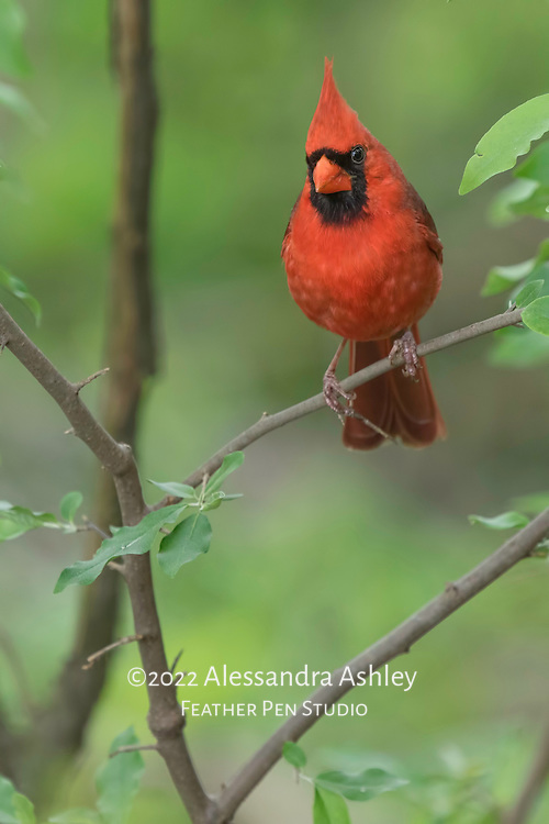 Male cardinal (Cardinalis cardinalis) shows prominent red crest while perched in woodland setting.