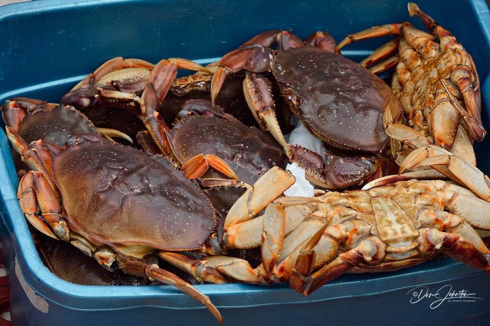 Harvest of dungeness crabs (females), Haida Gwaii (Queen Charlotte Islands) Gwaii Haanas NP, British Columbia, Canada