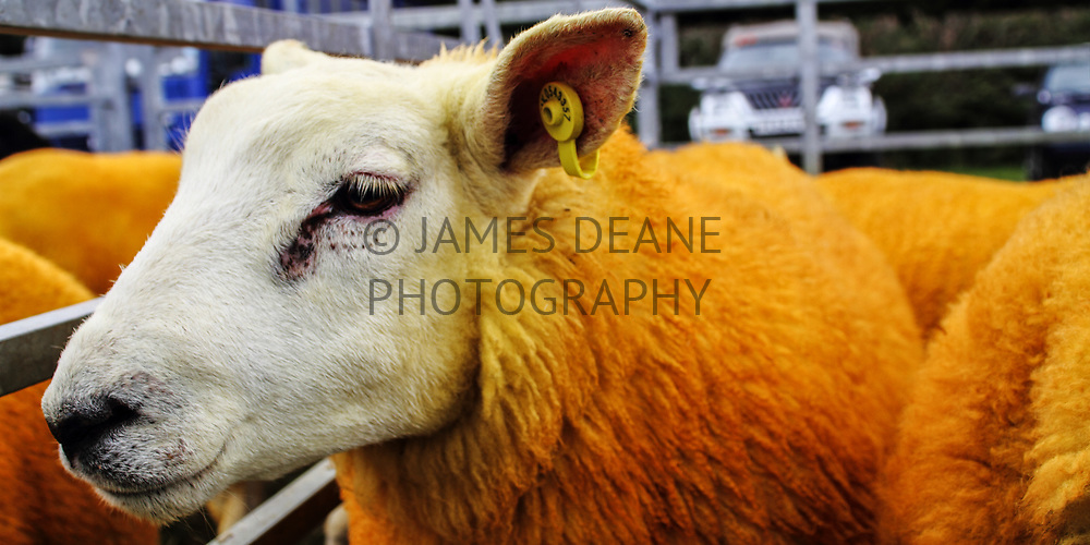 An entrant at one of Islay's biggest days; The annual Islay Agricultural Show