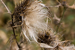 12 Oct 2011: A thistle plants blooms dry and open to scatter seeds. Rural Indiana, specifically in or close to Brown County.
