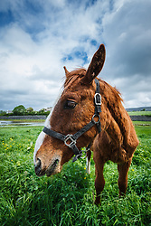 Horse in field, Ballyvaghan, County Clare, Ireland