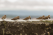 Five turnstones on a wall in a Scottish Harbour.