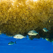 Almaco Jack fish (Seriola rivoliana) take shelter under a sargassum seaweed matt. Image made in the Sargasso Sea, Atlantic Ocean, International Waters.