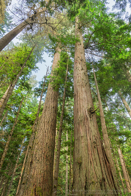 Old Growth forest of Western Red Cedar, Hemlock, and Douglas Fir in Heart O' the Hills. Olympic National Park Washington