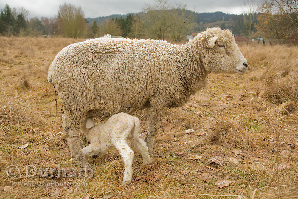 A mother ewe and a nursing newborn lamb on a small family farm. Sauvie Island, Oregon. Property released.