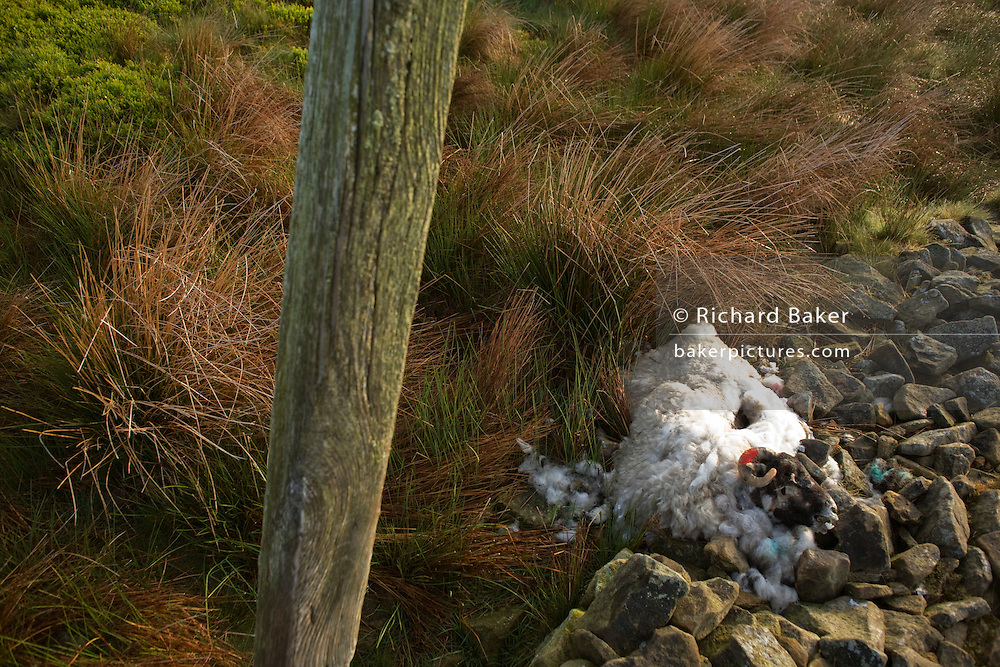 Dead ewe sheep lies decomposing at a collapsed dry stone wall on Nether Moor, Derbyshire.