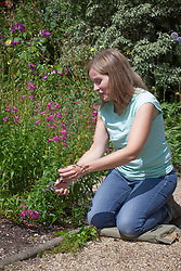 Deadheading penstemon after they have finished flowering